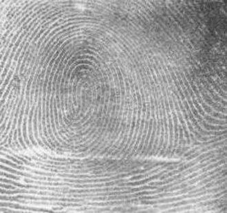 Glove prints - Image: Fingerprint Whorl