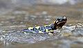 Fire salamander - Salamandra salamandra salamandra.jpg
