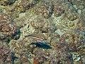 Fish - Serranus cabrilla juvenile.jpg