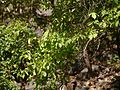 Flacourtia indica (13062079493).jpg