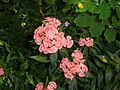 Fleurs rose.jpg
