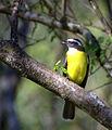 Flickr - Dario Sanches - BENTEVIZINHO-DE-PENACHO-VERMELHO (Myiozetetes similis) (1).jpg