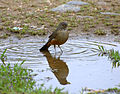 Flickr - Dario Sanches - SABIÁ-LARANJEIRA (Turdus rufiventris) (3).jpg