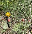 Flickr - brewbooks - Cactus in flower, Widforss Point.jpg