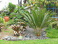 Flickr - brewbooks - Cycads and others.jpg