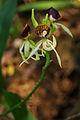 Flickr - ggallice - Orchid, Maya Biosphere Reserve.jpg