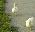 Flickr - jimf0390 - JimF 05-26-12 0035a doing the duck walk.jpg
