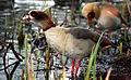 Flickr - law keven - The Golden Goose....jpg