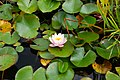 Flickr - ronsaunders47 - THE WATER LILLY..jpg
