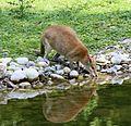 Flinkwallaby Macropus agilis Tierpark Hellabrunn-3.jpg