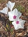 Flores de Ipomoea longifolia (Convolvulaceae).jpg