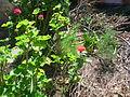 Flores en pueblo la Pionía, Edo. Lara.JPG