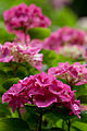 "Flower, Hydrangea ""Flambeau"" - Flickr - nekonomania.jpg"