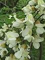 Flower Blk Locust 2016-05-28 009.jpg