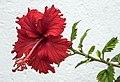 Flower of Malaya-1 (26841959804).jpg