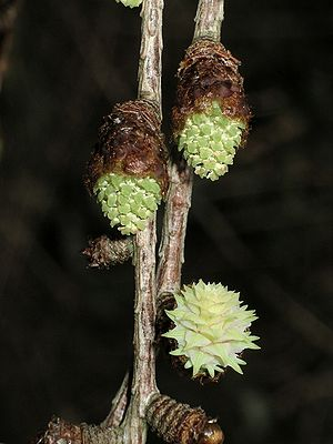 Larch - Image: Flowers of Japanese larch emerging