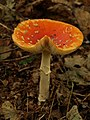 Fly agaric above North Malvern Quarry - geograph.org.uk - 975286.jpg