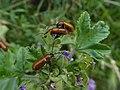 Foci dell'Avisio - Exosoma lusitanicum 01.jpg