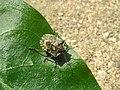 Forest Bug Larvae (Pentatoma Rufipes) (3270732542).jpg