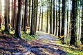 Forest Path - Flickr - Stiller Beobachter.jpg