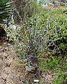 Fouquieria columnaris - UC Santa Cruz Arboretum - DSC07587.JPG