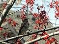 Fox Sparrow-1.jpg