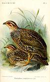 FrancolinusStreptophorusKeulemans