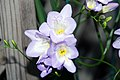 Freesia Blue Sea 2zz.jpg