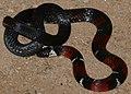 French Guyana Ground Snake (Atractus badius micheli) (24720371008).jpg