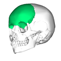 Frontal bone lateral2.png