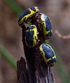 Fruit beetle at Chester Zoo 2.jpg