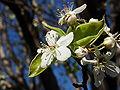 FruitlessPearBlossom-7812.jpg