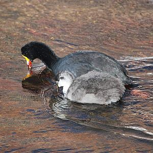 Giant coot - Image: Fulica gigantea Giant Coot (Adult and young)