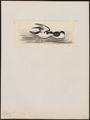 Fulmarus cookii - 1820-1860 - Print - Iconographia Zoologica - Special Collections University of Amsterdam - UBA01 IZ17900098.tif