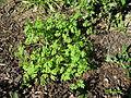 Fumaria capreolata plant4 (14398523730).jpg