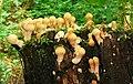 Fungus, Crawfordsburn Glen (20) - geograph.org.uk - 965713.jpg