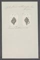 Fusus abbreviatus - - Print - Iconographia Zoologica - Special Collections University of Amsterdam - UBAINV0274 083 07 0050.tif