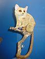 Galago senegalensis braccatus Museum de Genève.JPG