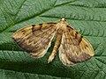 Gandaritis pyraliata - Barred straw - Ларенция светло-жёлтая (40951157891).jpg