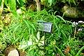 Garcinia xanthochymus - Gora Park - Hakone, Kanagawa, Japan - DSC08588.jpg
