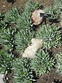 Gardenology.org-IMG 2274 hunt0903.jpg