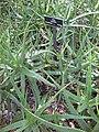 Gardenology.org-IMG 2728 hunt0903.jpg