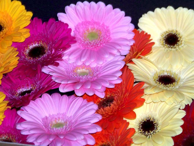 File:Gebera - verschiedene Farben.jpg