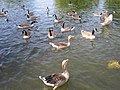 Geese on the water in Regent's Park - geograph.org.uk - 1458039.jpg