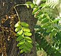 Gleditsia-triacanthos-hojas.jpg