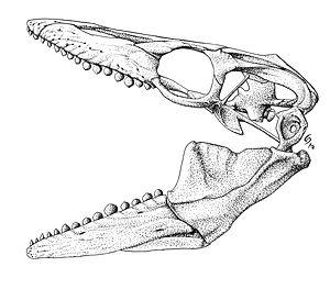 Globidens - Reconstructed skull of G. dakotensis