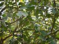 Glochidion ellipticum var. ellipticum (6927751567).jpg