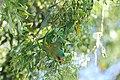 Glossopsitta concinna (32453307212).jpg