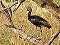 Glossy Ibis Plegadis falcinellus by Dr. Raju Kasambe DSCN1211 (4).jpg