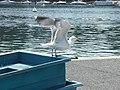 Goéland argenté (Larus argentatus) (15).jpg